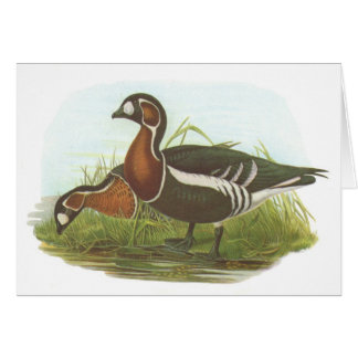 Gould - Red-Breasted Goose - Branta ruficollis Card