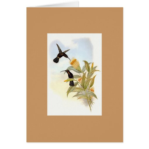 Gould - Sooty Barbed-Throat Hummingbird Greeting Cards