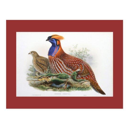Gould - Temminck's Horned Pheasant Postcard