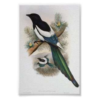 Gould - White-Winged Magpie Portfolio Poster