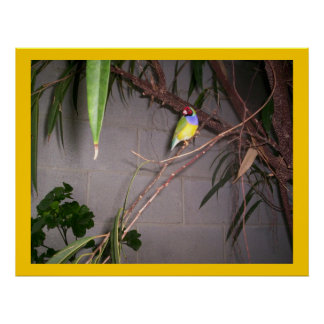 Gouldian Finch Posters