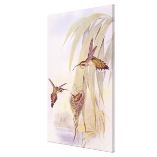 Goulds Hummingbirds Stretched Wrapped Print Canvas Print