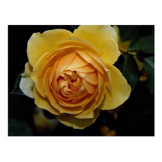 Graham Thomas Shrub Rose 'Ausmas' Roses Postcard