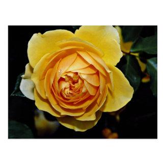 Graham Thomas Shrub Rose Ausmas White flowers Postcards