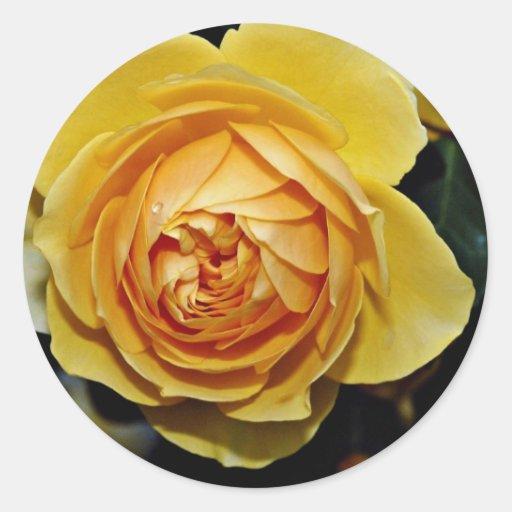 Graham Thomas Shrub Rose 'Ausmas' White flowers Round Sticker
