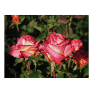 Granada Hybrid Tea Roses 045 Posters