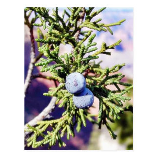 Grand Canyons Junipers Berry Berries Postcard