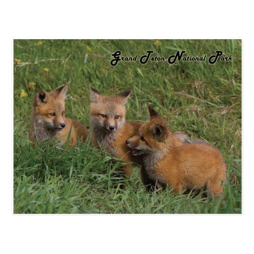 Grand Teton National Park Fox Kits Postcards