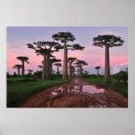 Grandidier Baobab Forest  Poster