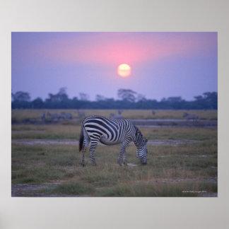 Grant Zebra 3 Poster