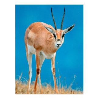 Grant's Gazelle (Gazella Granti) Ewe Portrait Postcard