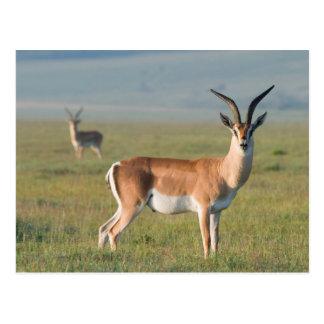 Grant's Gazelle, Ngorongoro Crater, Ngorongoro Postcard