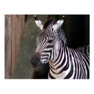 grants zebra postcard