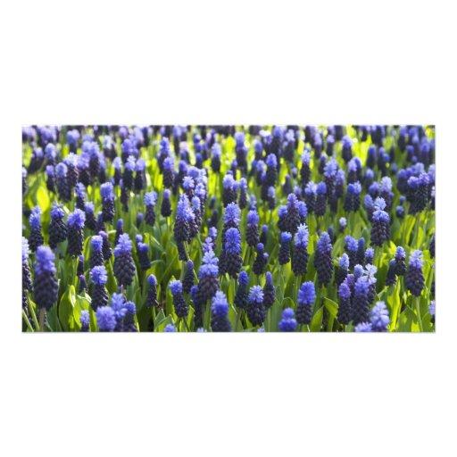 Grape hyacinth fields photo card