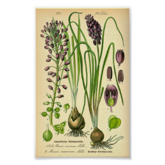 Grape Hyacinth (Muscari neglectum) Poster