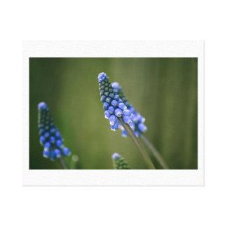 Grape Hyacinths Stretched Canvas Prints