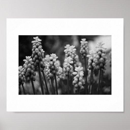 Grape Hyacinths in Mono Poster