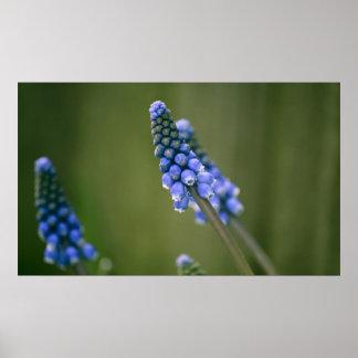 Grape Hyacinths Posters
