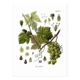 Grape vine post cards