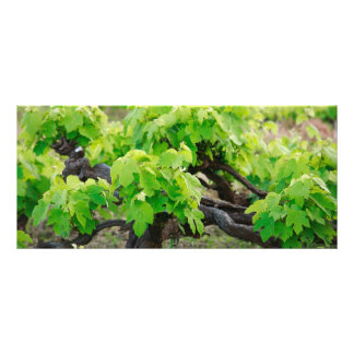 Grape vines rack card template