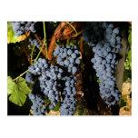 Grape Vineyard 2 Postcard