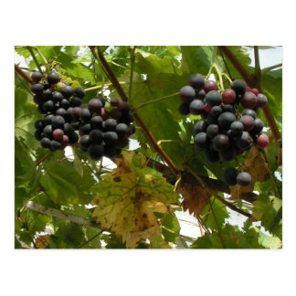 Grapes growing on a vine post card
