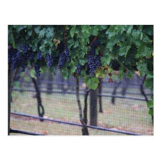 Grapes Vines Postcard