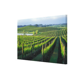 Grapevines in neat rows in California's Napa Canvas Print