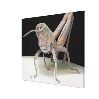 Grasshopper nymph canvas print