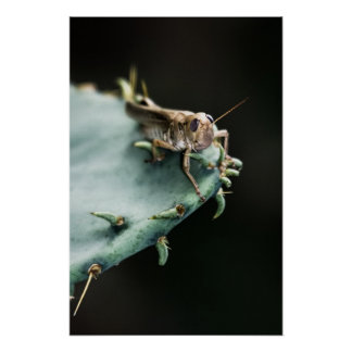 Grasshopper on Cactus Poster