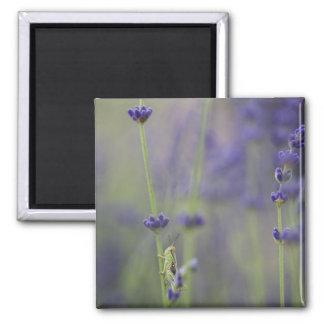 Grasshopper with lavender magnet