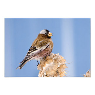 Gray-Crowned Rosy Finch in Cloquet, Minnesota Photographic Print