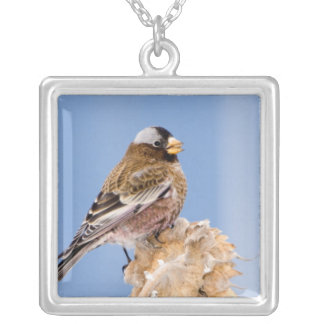 Gray-Crowned Rosy Finch in Cloquet, Minnesota Silver Plated Necklace