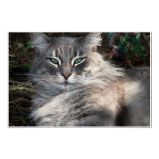 Gray Green-Eyed Maine Coon Cat Poster