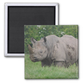 Gray Rhino in the wild on a Magnet
