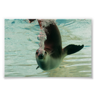 Gray Seal Diving underwater bubbles from nose Poster