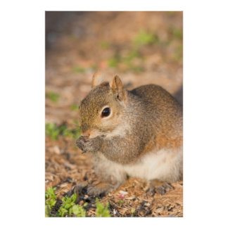 Gray Squirrel eating seeds Poster