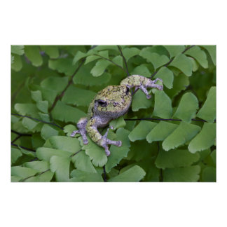 Gray tree frog on fern, Canada Poster