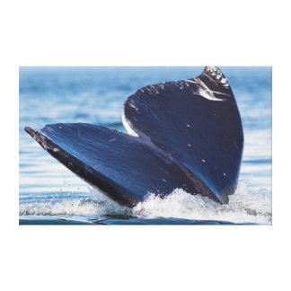 Gray Whale Diving, Hood Canal, Washington State Stretched Canvas Print