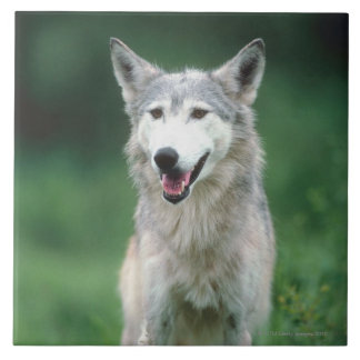 Gray wolf 2 tile