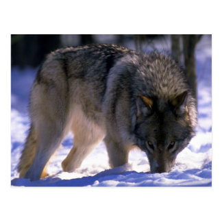 Gray Wolf at edge of snowy forest, eye contact Postcard