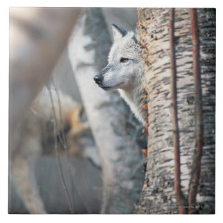Gray Wolf Behind Tree Tile