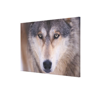 gray wolf, Canis lupus, close up of eyes in Canvas Print