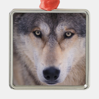 gray wolf, Canis lupus, close up of eyes in Christmas Ornament