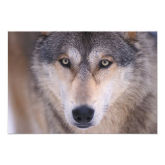 gray wolf, Canis lupus, close up of eyes in Photograph