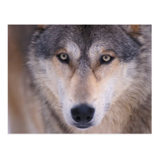 gray wolf, Canis lupus, close up of eyes in Postcard