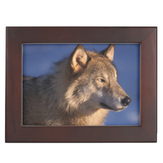gray wolf, Canis lupus, in the foothills of 2 Keepsake Box