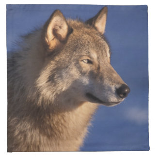 gray wolf, Canis lupus, in the foothills of 2 Napkin