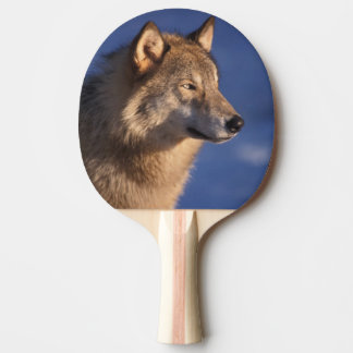 gray wolf, Canis lupus, in the foothills of 2 Ping Pong Paddle