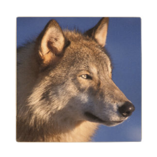 gray wolf, Canis lupus, in the foothills of 2 Wood Coaster